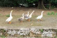 Yangon ducks