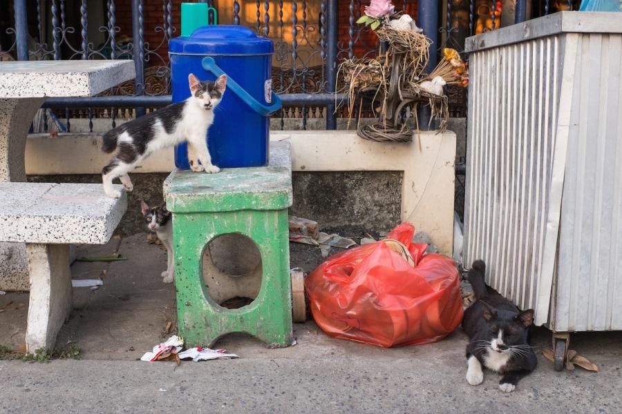 Soi cats Bangkok