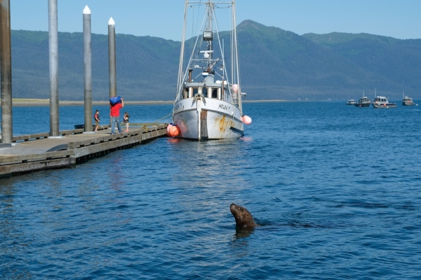 Gustavus Alaska Sea Lion