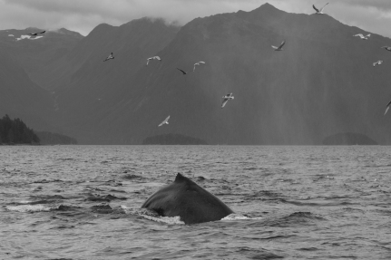Humpback whale black and white