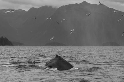 Humpback whale black and white