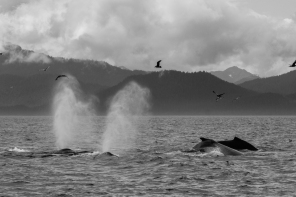whales in black and white