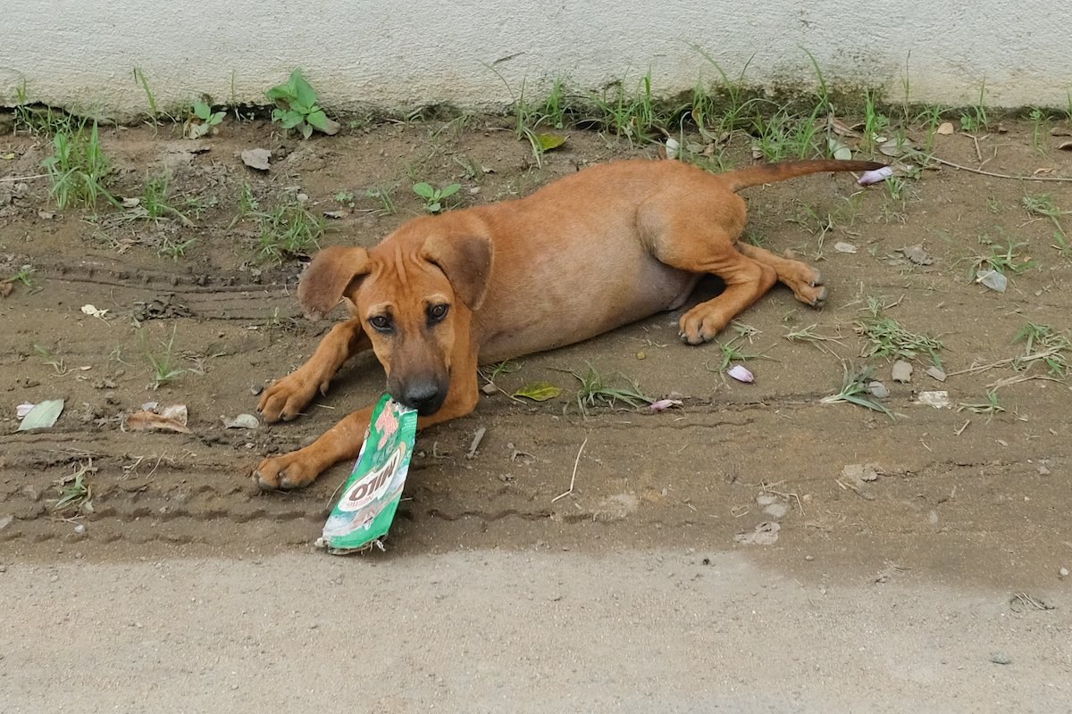 Sri Lanka street dog