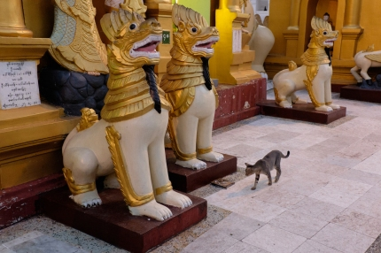 Cat at Shwedagon