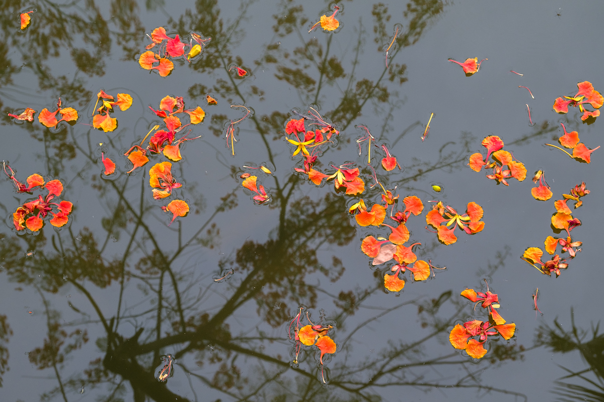 Flame Tree Reflection